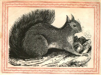 squirrel, 1841